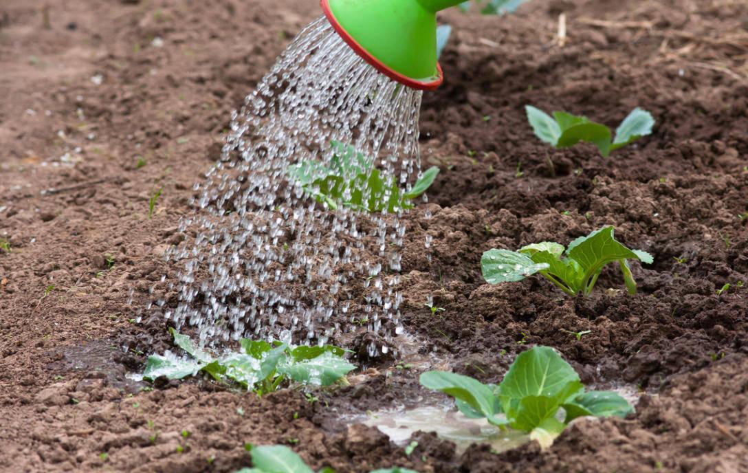 Как и чем правильно поливать капусту в открытом грунте, дома до посадки в него для быстрого роста и хорошего урожая, какой водой, холодной ли, сверху или под корень?