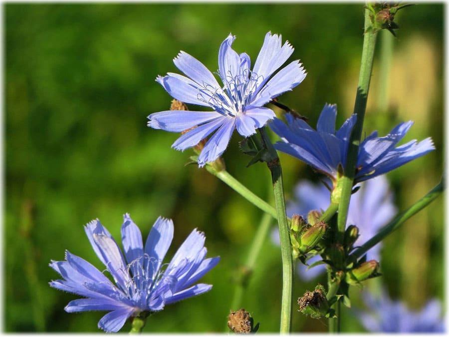 Полезные свойства и противопоказания растения цикорий, от чего помогает цветок