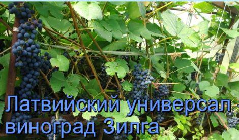 Виноград забава: описание сорта, особенности ухода за растением