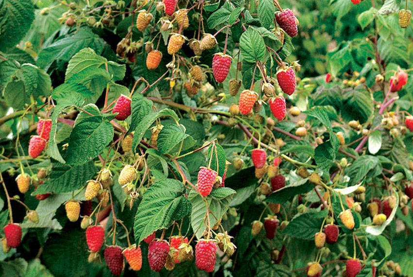 Малина таруса: описание сорта и характеристика ягодного дерева, видео и фото