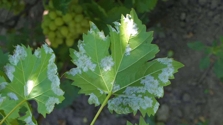 Милдью винограда: описание болезни, когда и чем обрабатывать от ложной мучнистой росы