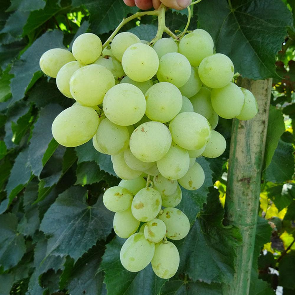 Виноград антоний великий- описание, советы по уходу, хранение | сортовед