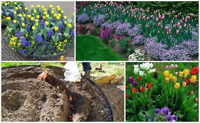 Как красиво посадить тюльпаны на участке + фото
