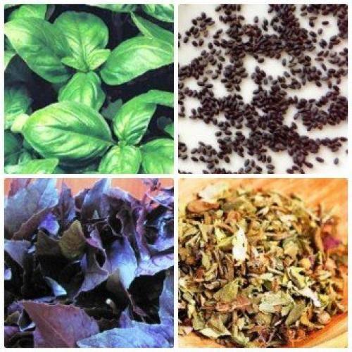 Базилик - польза и вред, свойства, калорийность