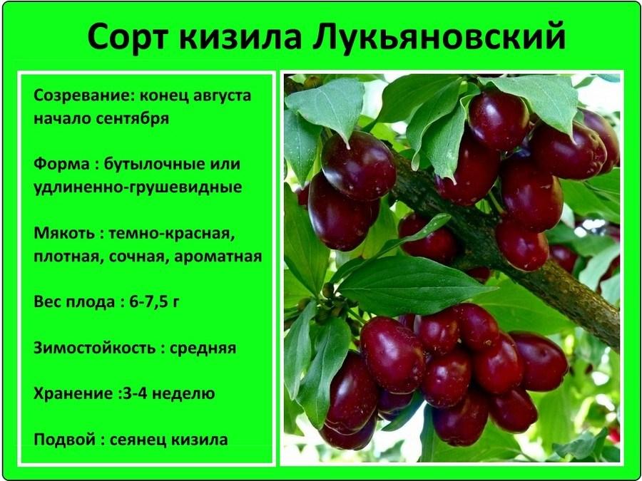 Слива светлячок: краткое описание сорта и фото плодов