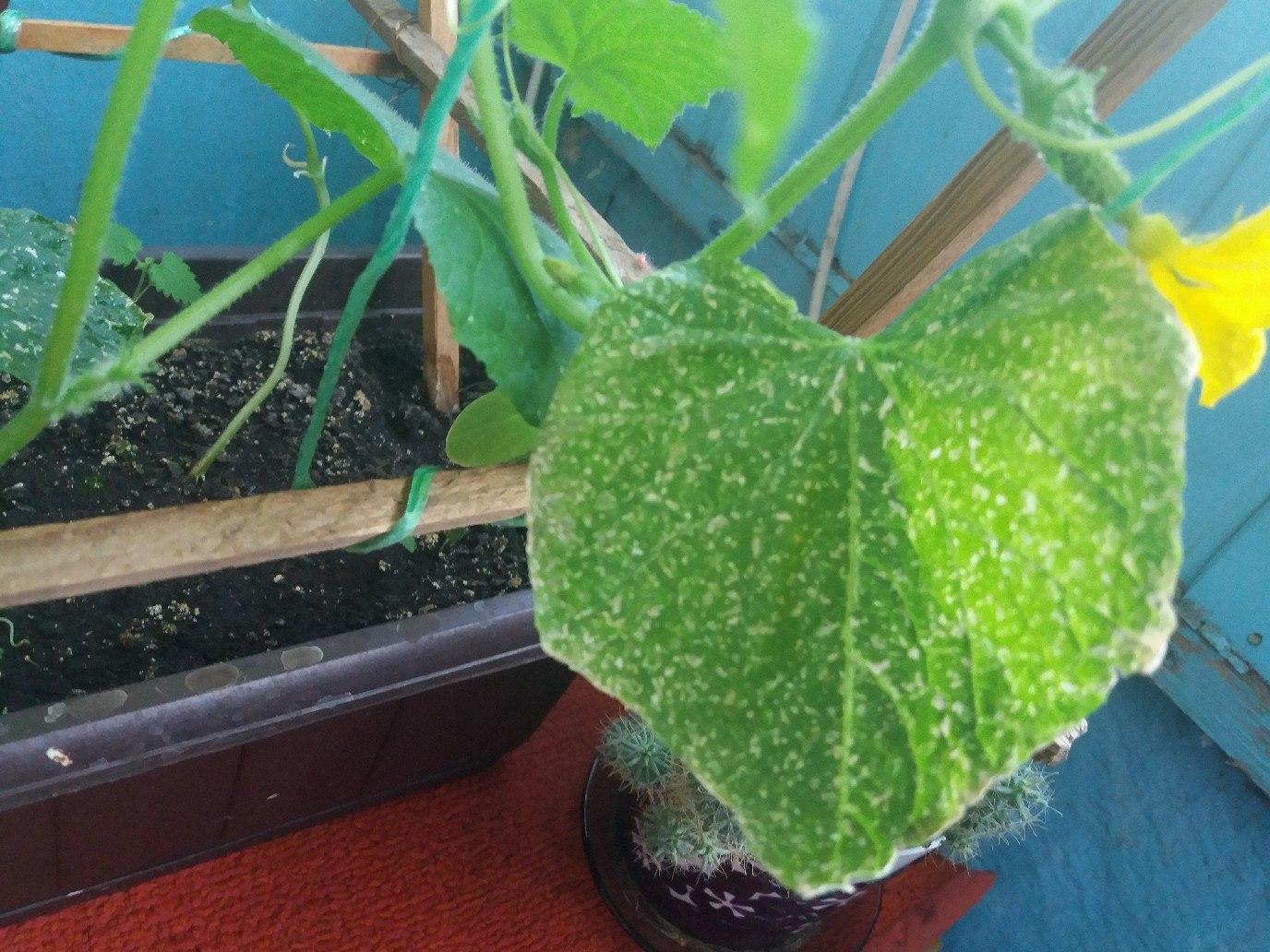 Почему не растут огурцы на подоконнике: желтеют и сохнут плоды, причины, лечение