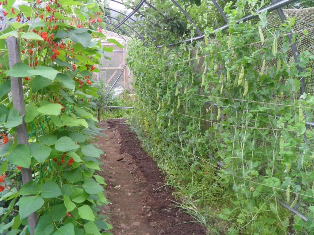 Фасоль: посадка и уход в открытом грунте, как и где посадить, когда сажать
