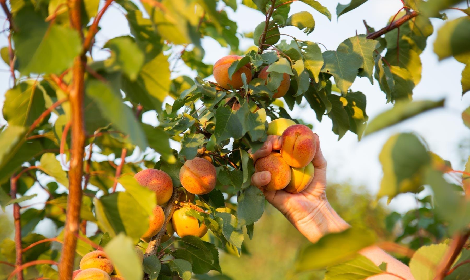 Описание сорта персика киевский ранний, правила посадки и ухода