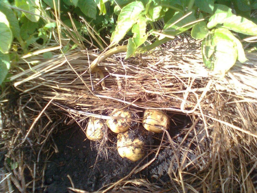 Мульча вместо окучивания: выращиваем картофель в соломе