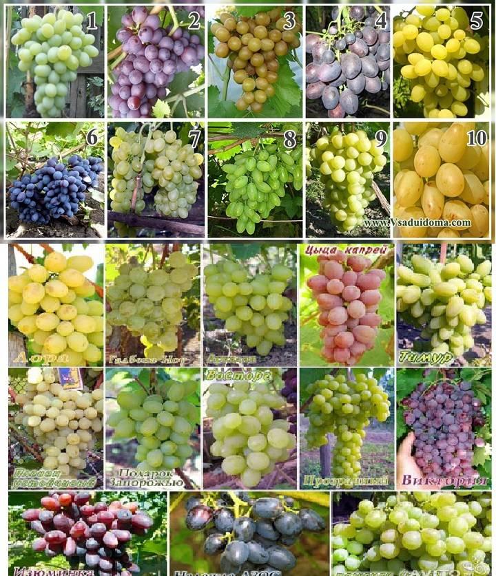 Рислинг (riesling) — сорт винограда