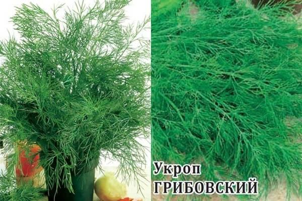Укроп грибовский описание - дневник садовода semena-zdes.ru