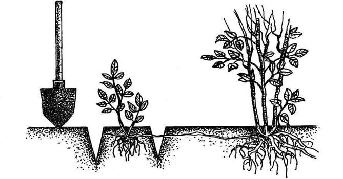 Выращивание ревеня из семян в открытом грунте: как вырастить рассаду |