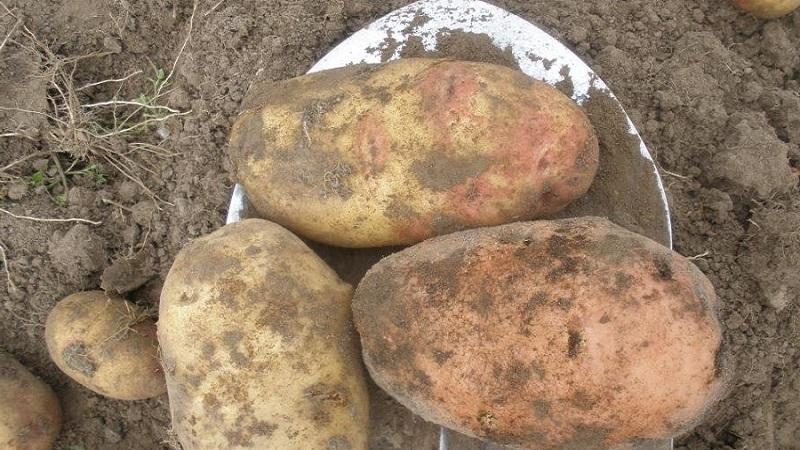 Удивительный картофель «иван да марья»: описание сорта, характеристики, фото