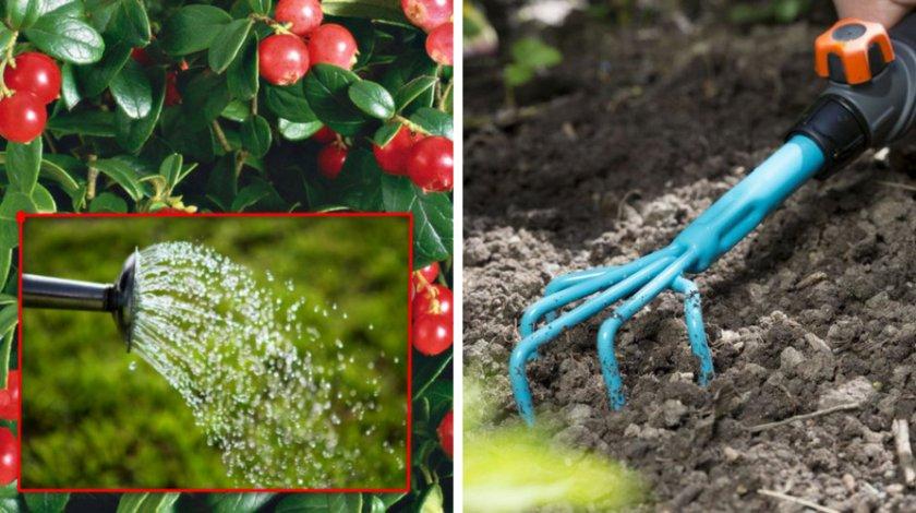 Как вырастить любисток из семян: сорта и посадка, правила ухода, сбор урожая