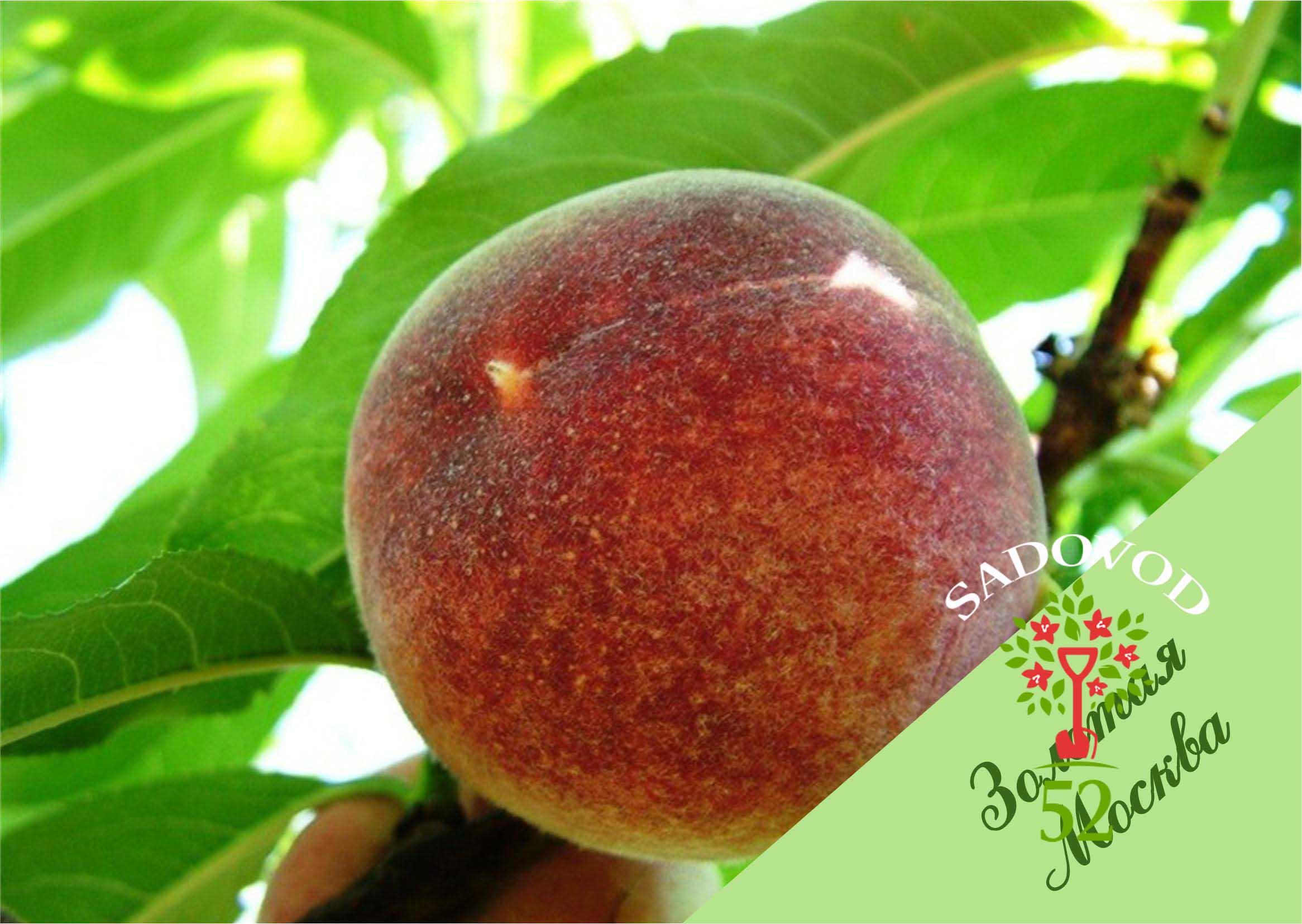 Персик золотой юбилей: описание сорта с фото