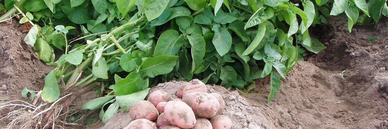 Что делать, если картофель ушел в ботву? | огородник как быть, если выросла большая ботва у картофеля? | огородник