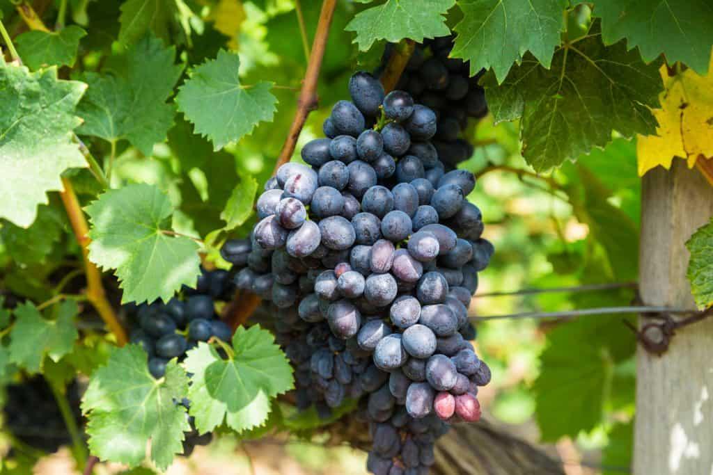 Сорта винограда для сибири: фото с названием и описанием, отзывы