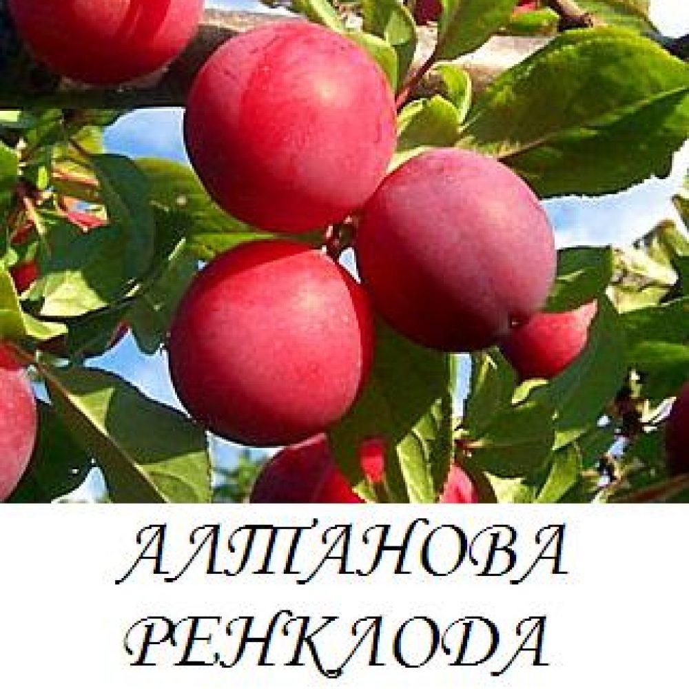 """Слива """"скороплодная"""": описание сорта, характеристики и фото selo.guru — интернет портал о сельском хозяйстве"""