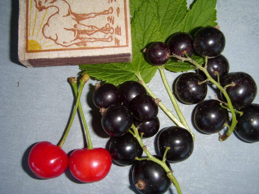 Смородина селеченская и селеченская-2: описание сорта черной смородины, выращивание - посадка и уход