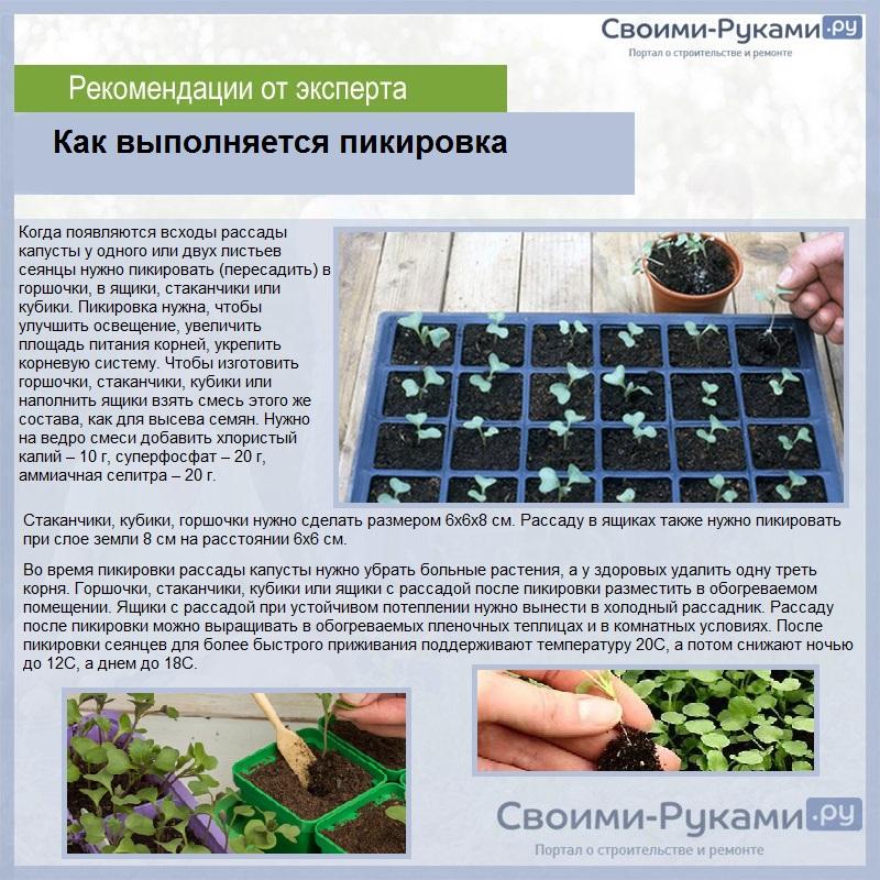 Выращивание рассады цветной капусты из семян в домашних условиях