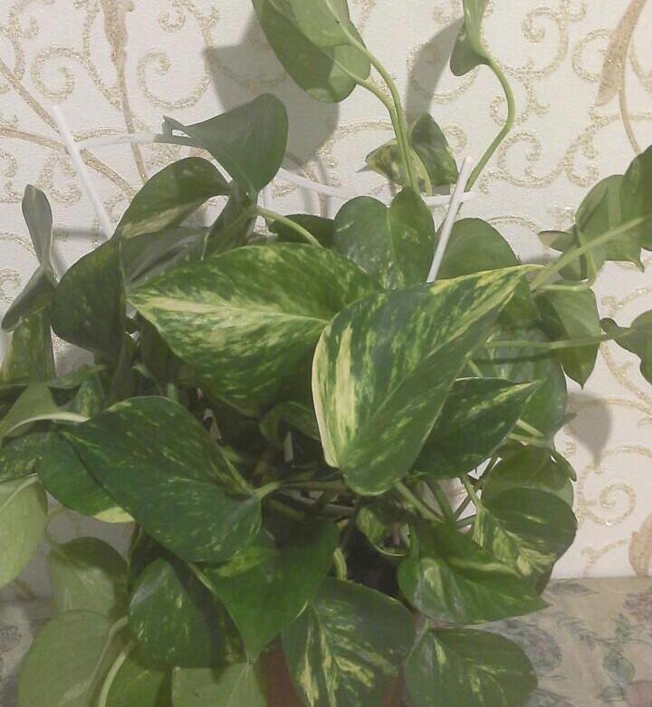 Уход в домашних условиях за комнатным растением – сциндапсус