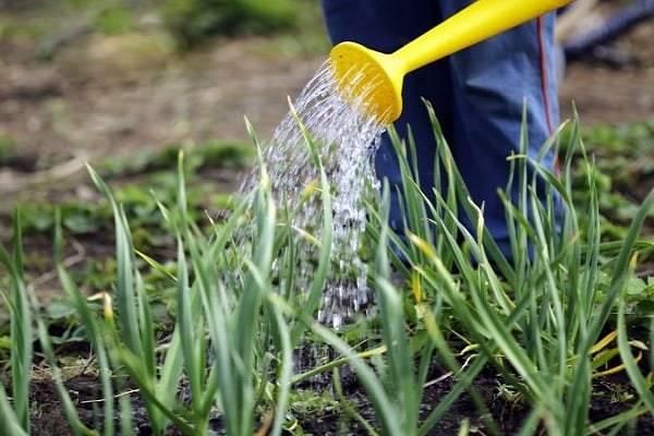 Как правильно поливать чеснок летом, чеснок: выращивание, уход, блюда с чесноком, лечение чесноком