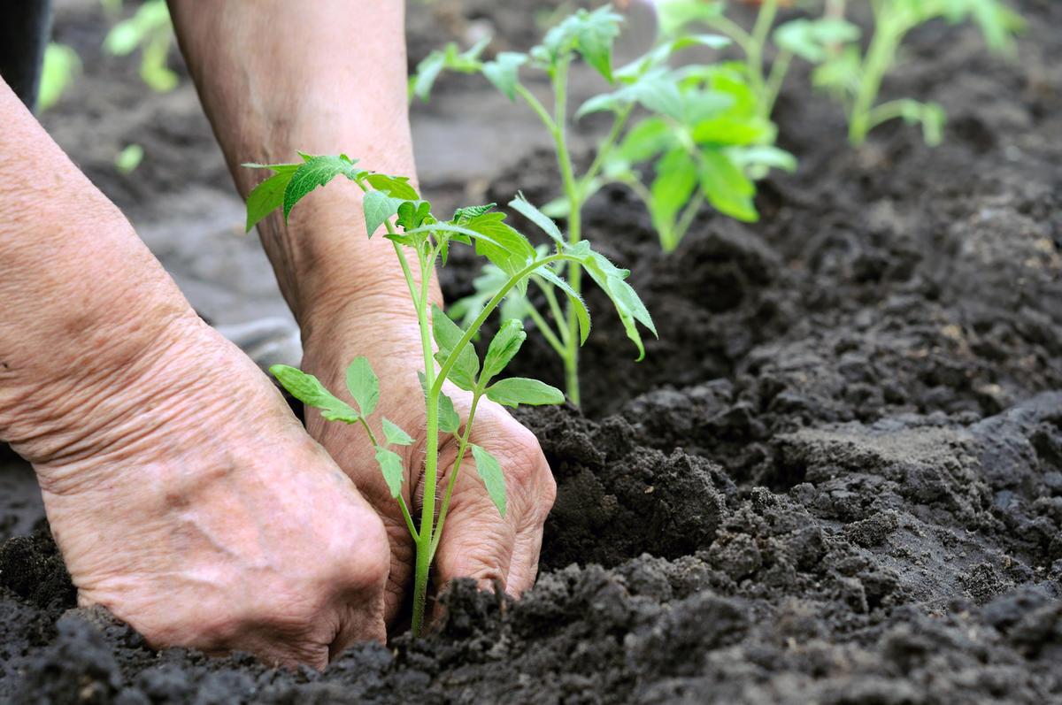 Выращивание щавеля в открытом грунте. посадка семенами весной и под зиму