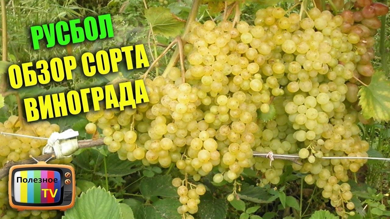 """Виноград """"русбол"""": описание сорта, фото, отзывы"""