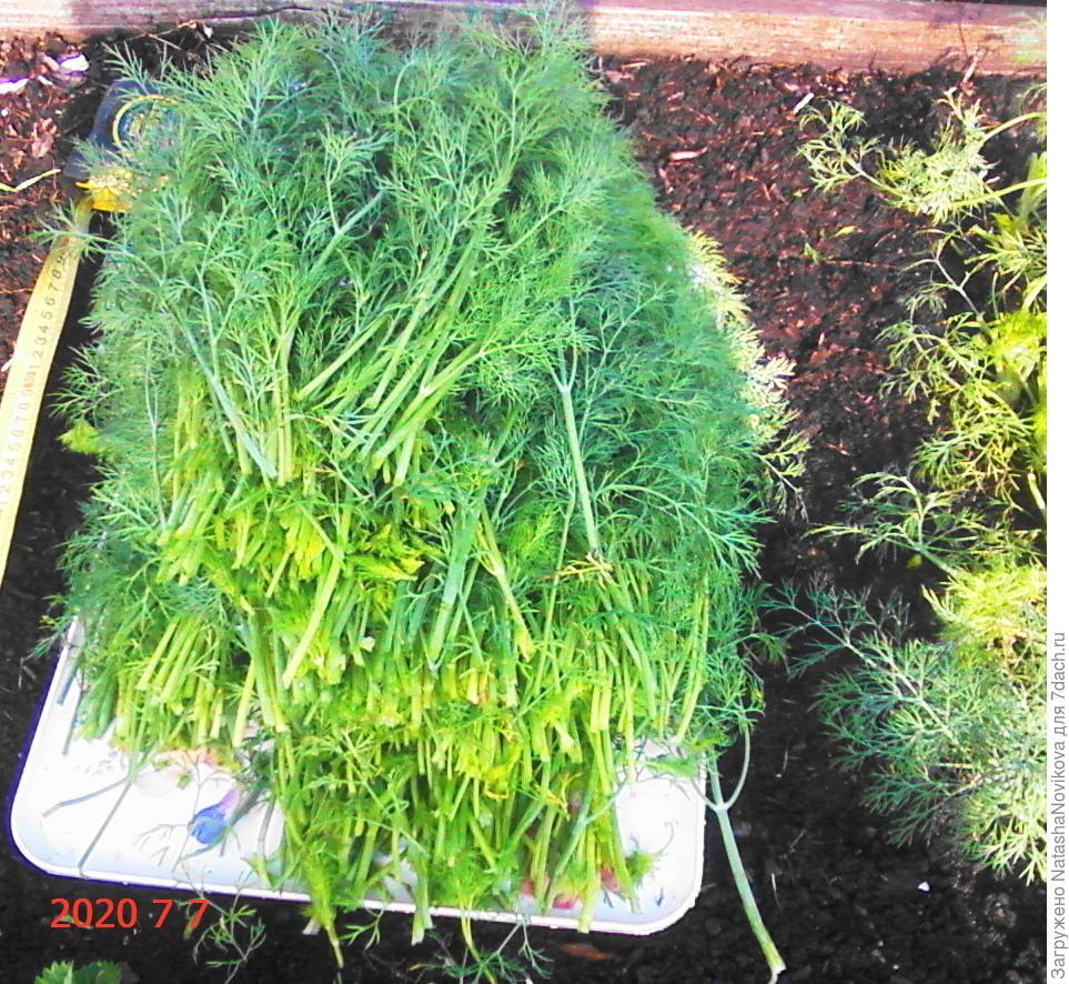 Как посадить укроп в открытый грунт, рекомендации и уход