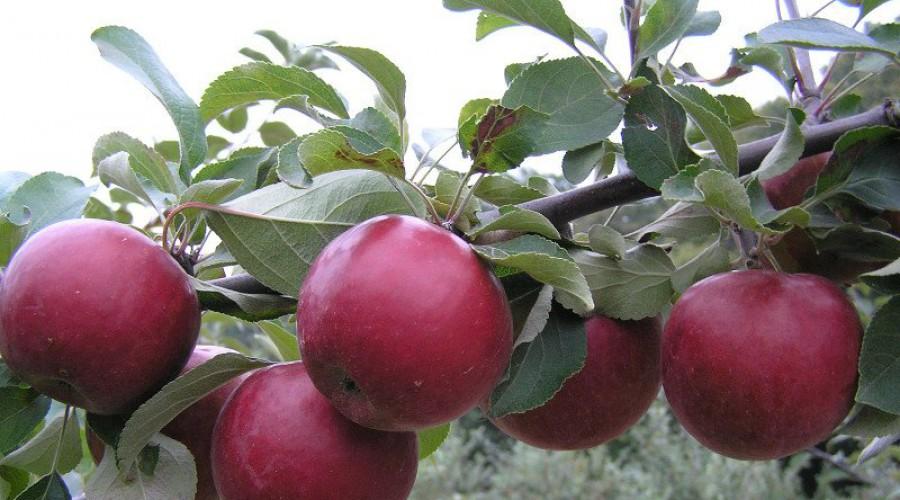Яблоня коваленковское: посадка, обрезка – дачные дела