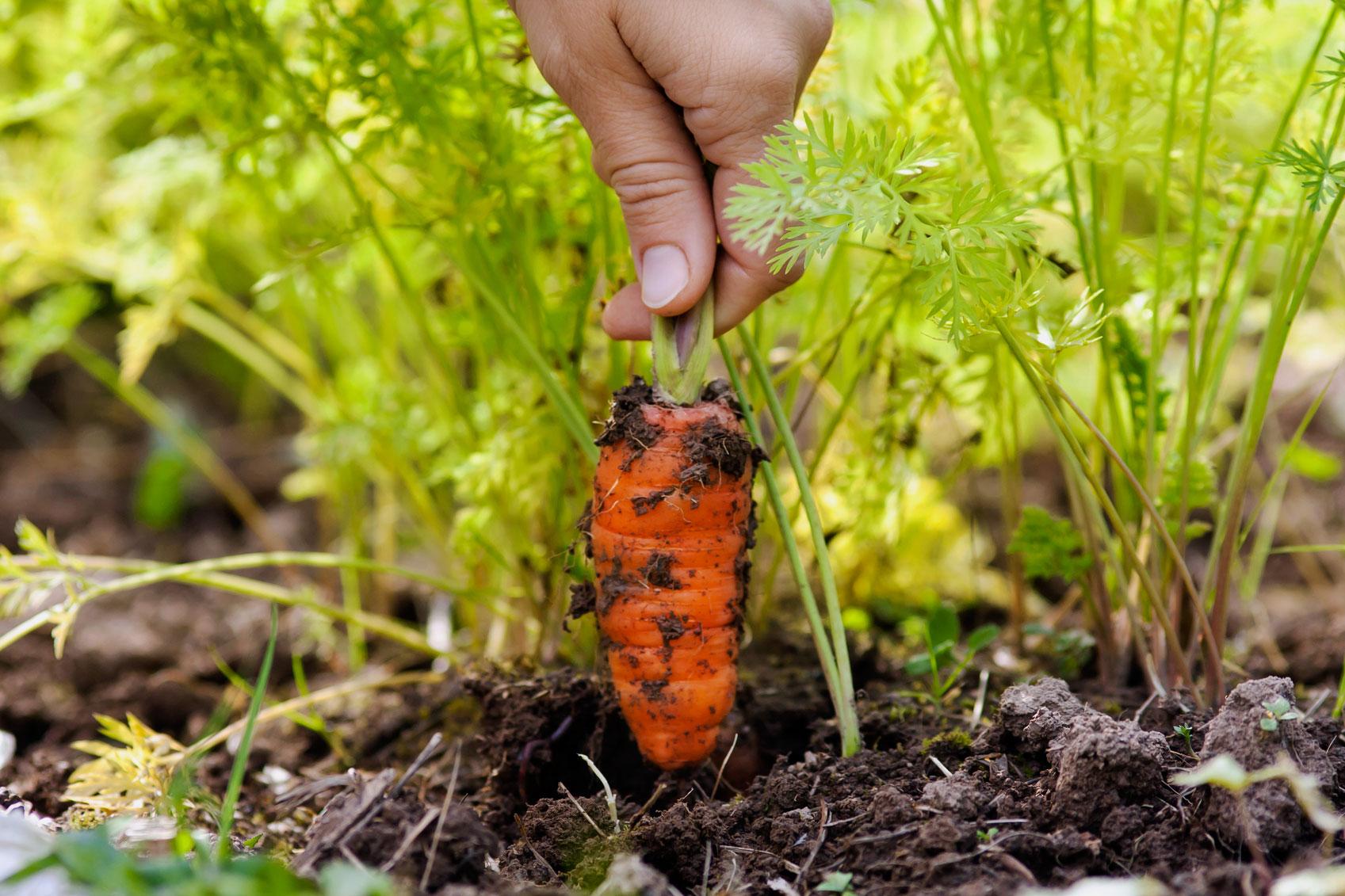 Посадка моркови осенью под зиму: как и когда сажать, подходящие сорта