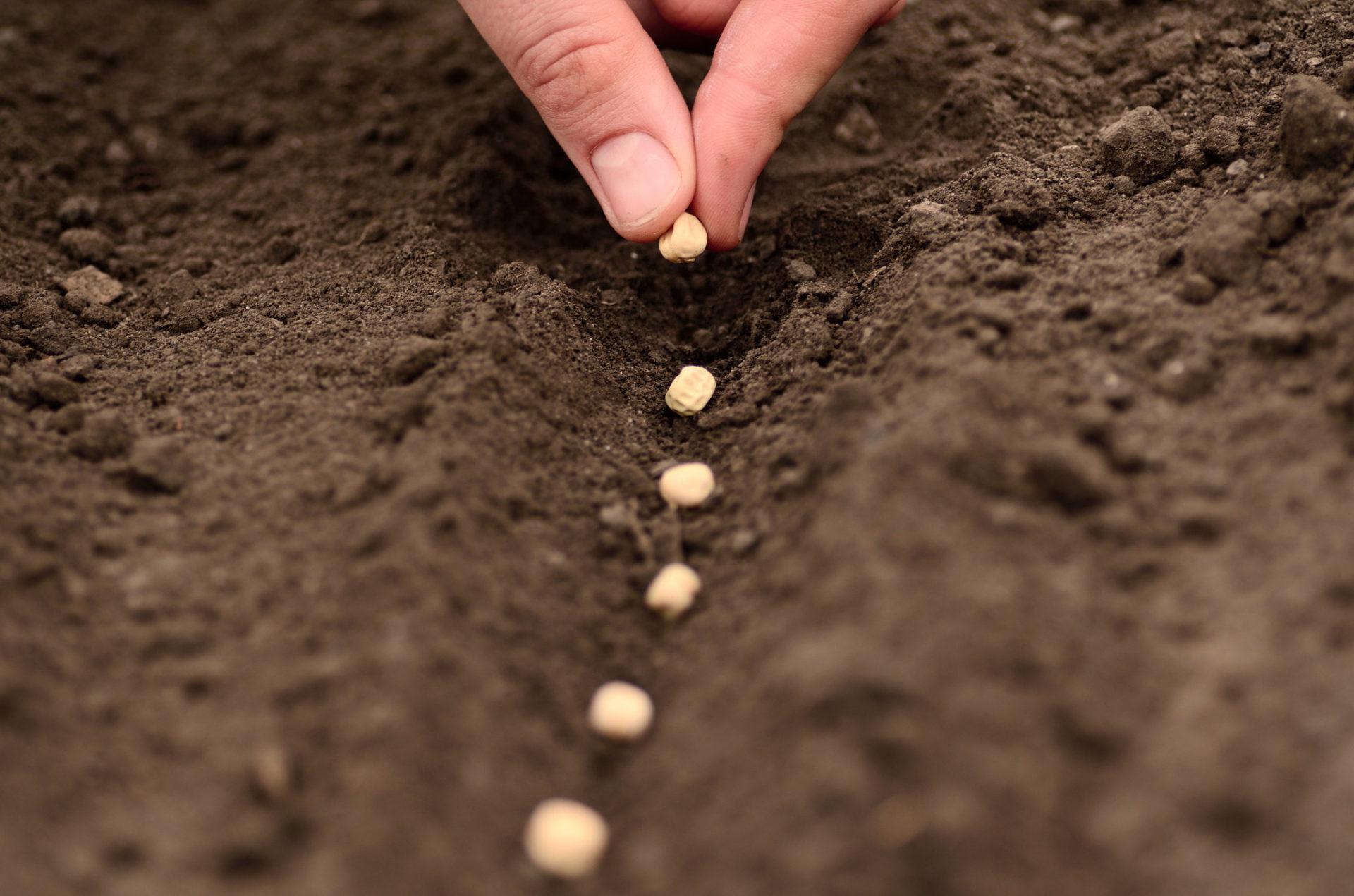 Пастернак: выращивание из семян на огороде, сорта