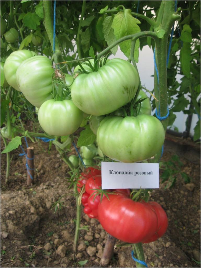 Настоящий самородок среди томатов — клондайк розовый: отзывы об урожайности и описание сорта