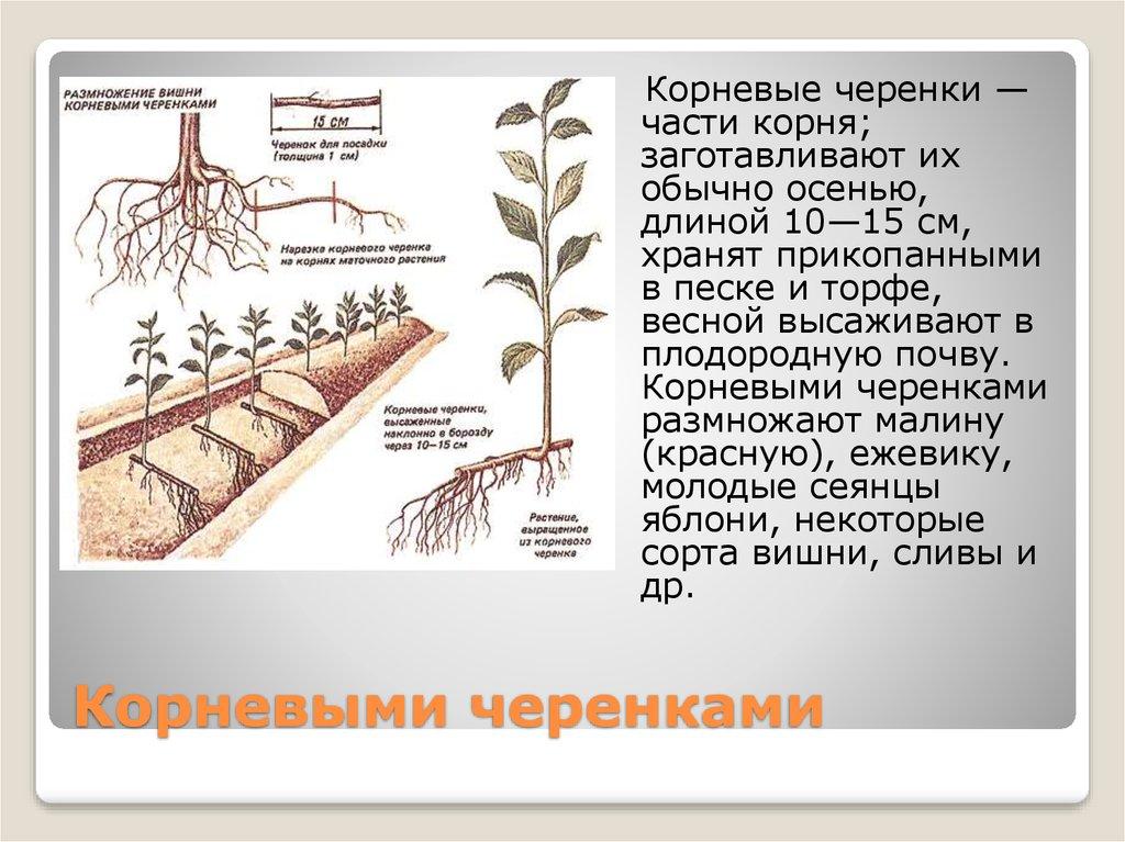 Как из семян вырастить облепиху. облепиха из семян | дачная жизнь