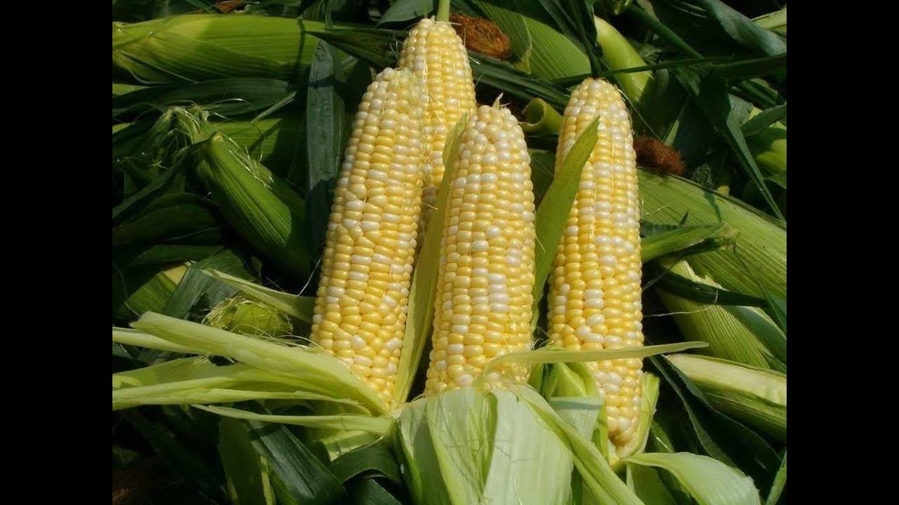 Кукуруза — это бобовые или нет? - блогфермера