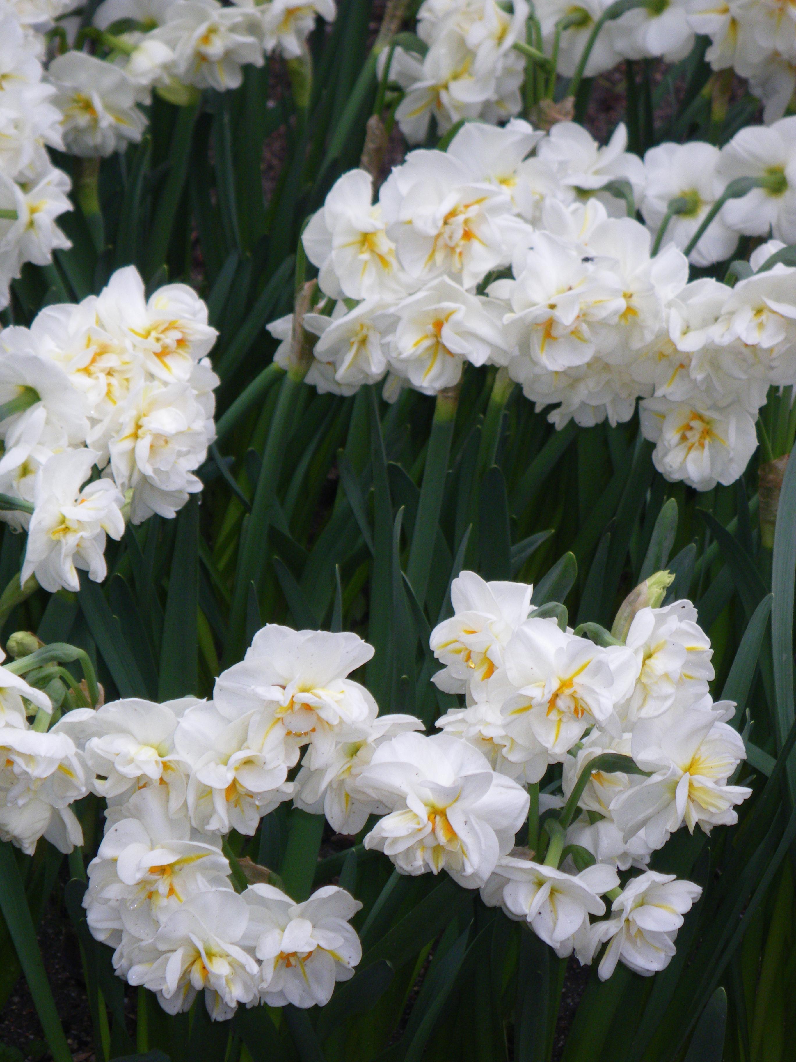 Нарцисс эрличир: описание и характеристики сорта, посадка и уход, зона зимостойкости
