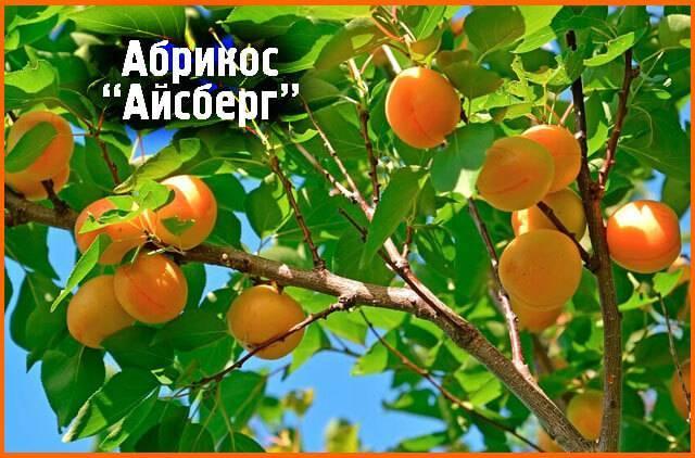 Колоновидный абрикос: лучшие сорта, посадка и уход, обрезка с фото