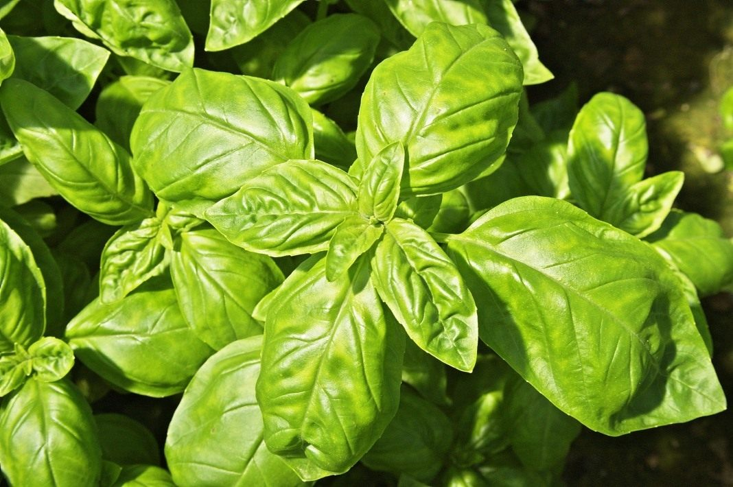 Лекарственное растение базилик: полезные свойства и противопоказания травы, высота растения и описание сортов