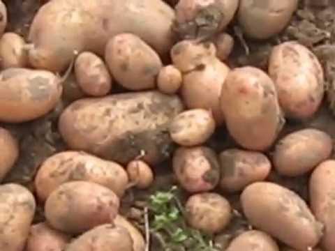 Сорт картофеля славянка: характеристика и описание вида, а также фото и правила ухода, советы по выращиванию