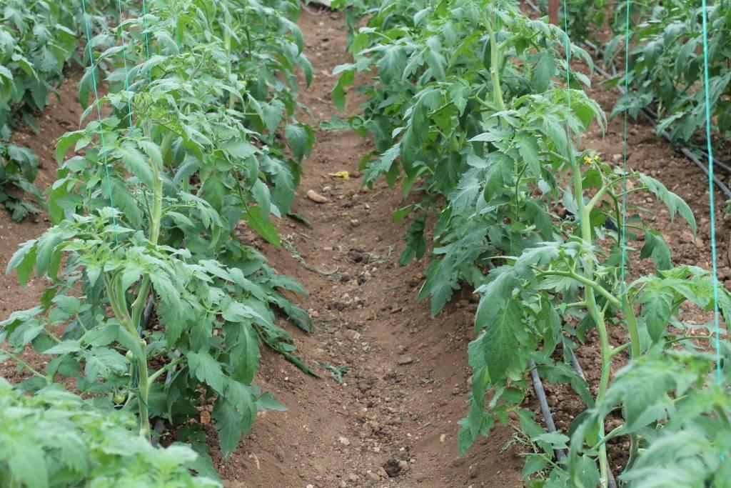 Можно ли сажать помидоры для открытого грунта в теплицу: чем отличаются сорта томатов для улицы, стоит или нет выращивать их в парнике и как нужно за ними ухаживать? русский фермер