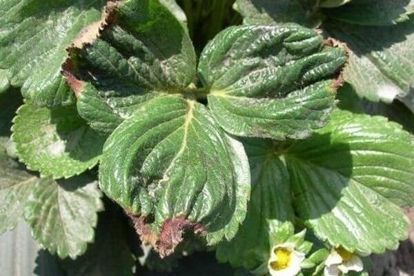 Бурая пятнистость на листьях клубники: чем обработать и когда