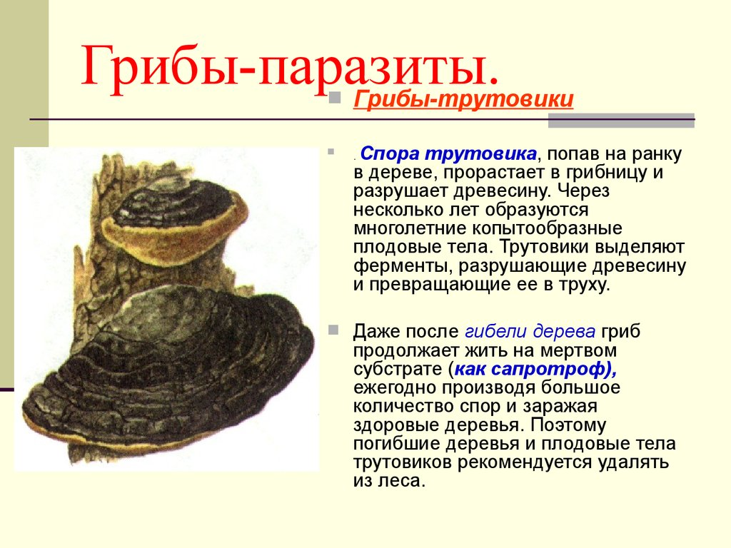 Триходерма: что это и зачем его выращивают дачники