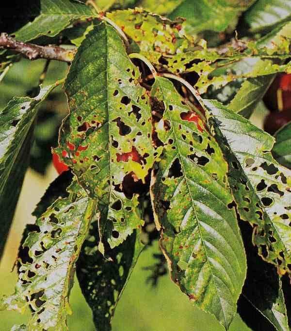Болезни и вредители войлочной вишни: список, описание и методы борьбы