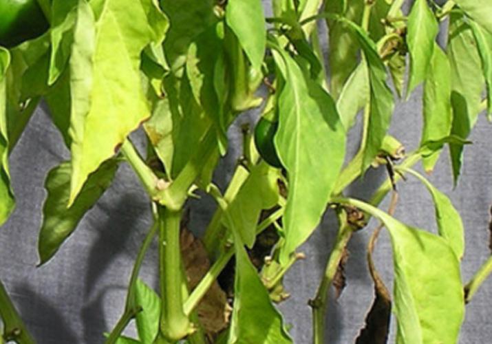 Почему листья перца скручиваются и что нужно делать в этом случае. обсуждение на liveinternet