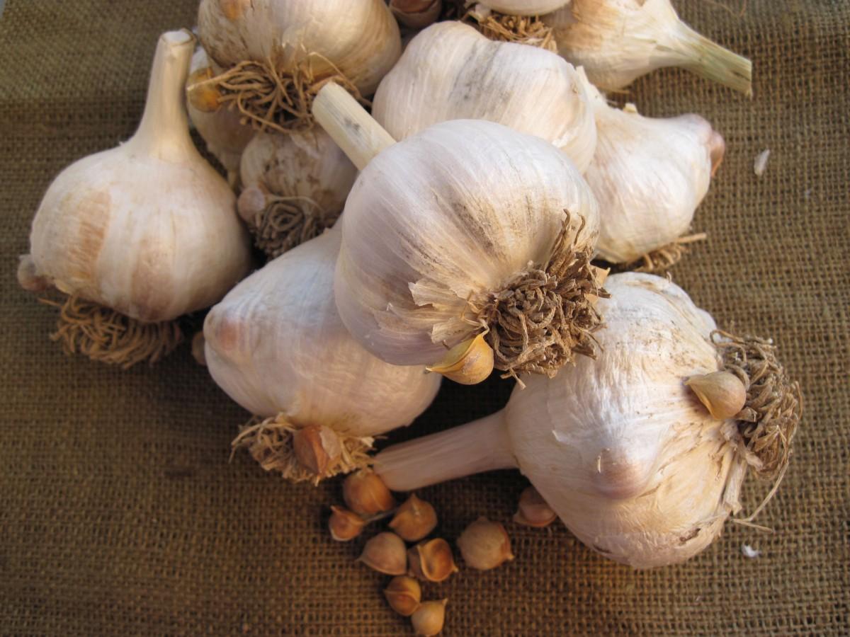 Описание чеснока сорта Рокамболь и особенности его посадки, выращивания и ухода