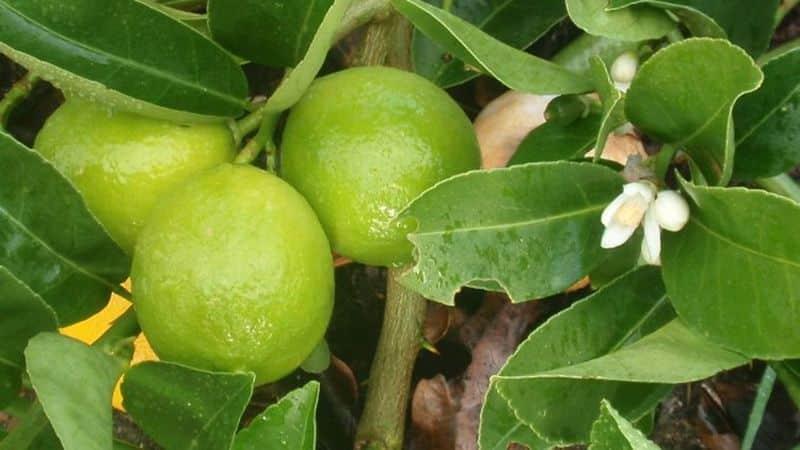 Олива: уход в домашних условиях, размножение и выращивание дерева