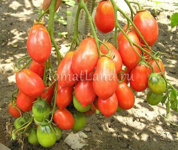 Вкусный томат «чио-чио-сан»: отзывы и мнение тех кто сажал ( фото)