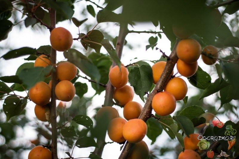 10 лучших сортов абрикос