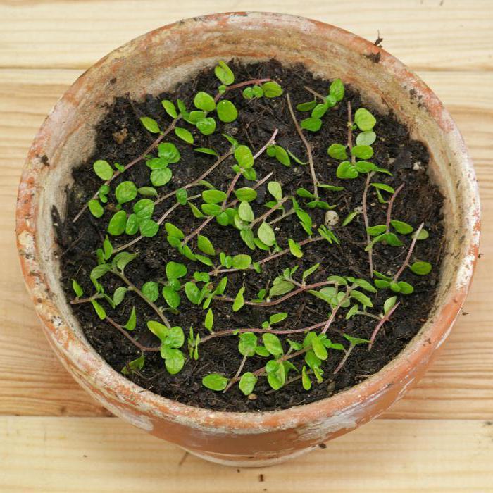 Выращивание солейролии своими руками