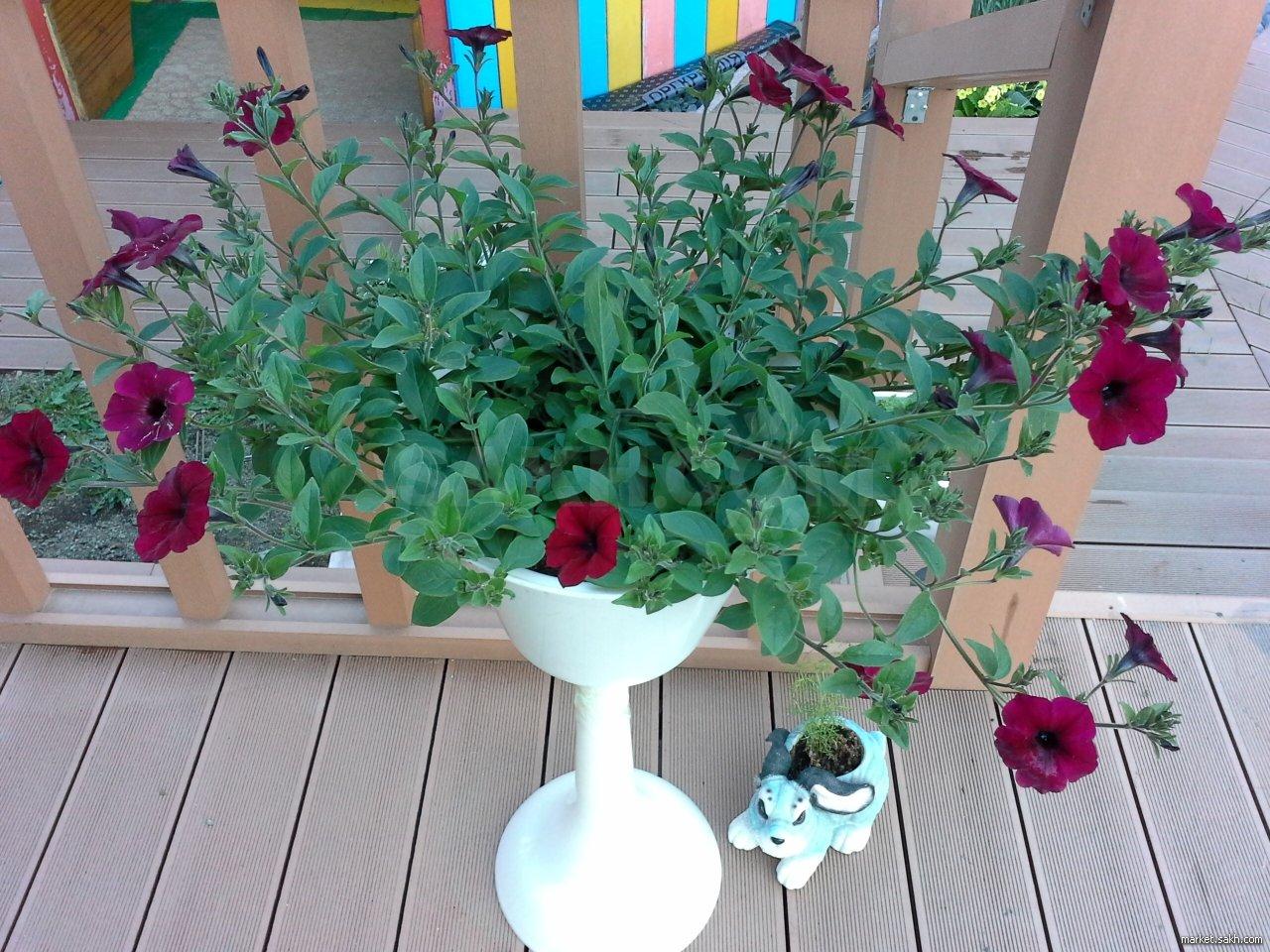Как сажать петунии в кашпо: подбор сорта, подготовка емкости и грунта, выращивание из семян и уход
